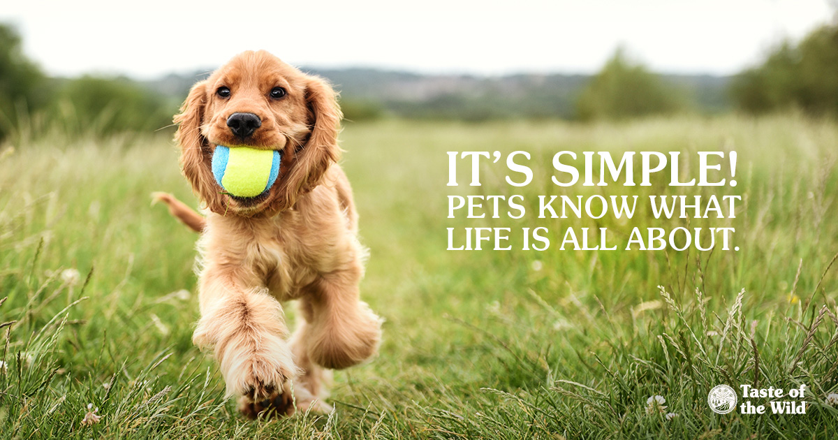 Golden Retriever puppy with a toy