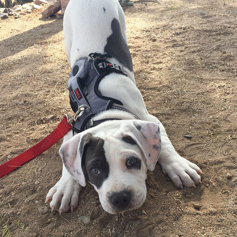 American Bully Puppy Playing in the Dirt | Taste of the Wild