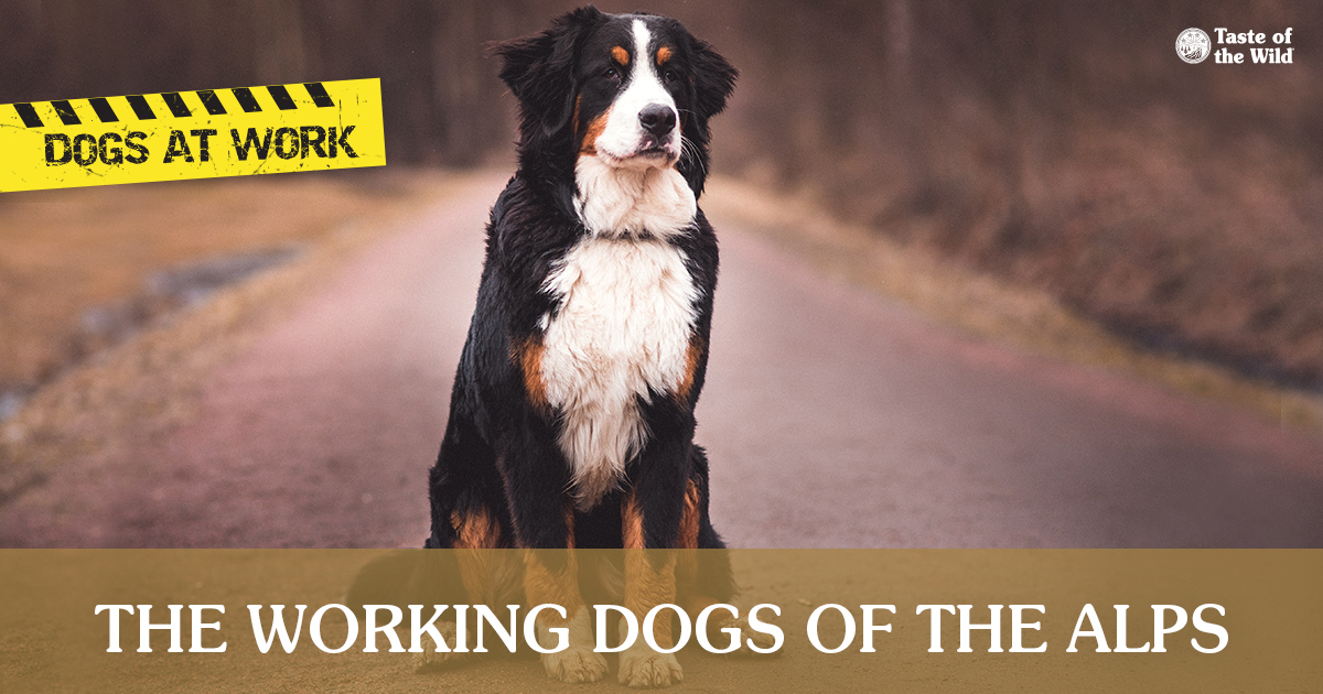 Bernese Mountain Dog standing in a wooded area | Taste of the Wild