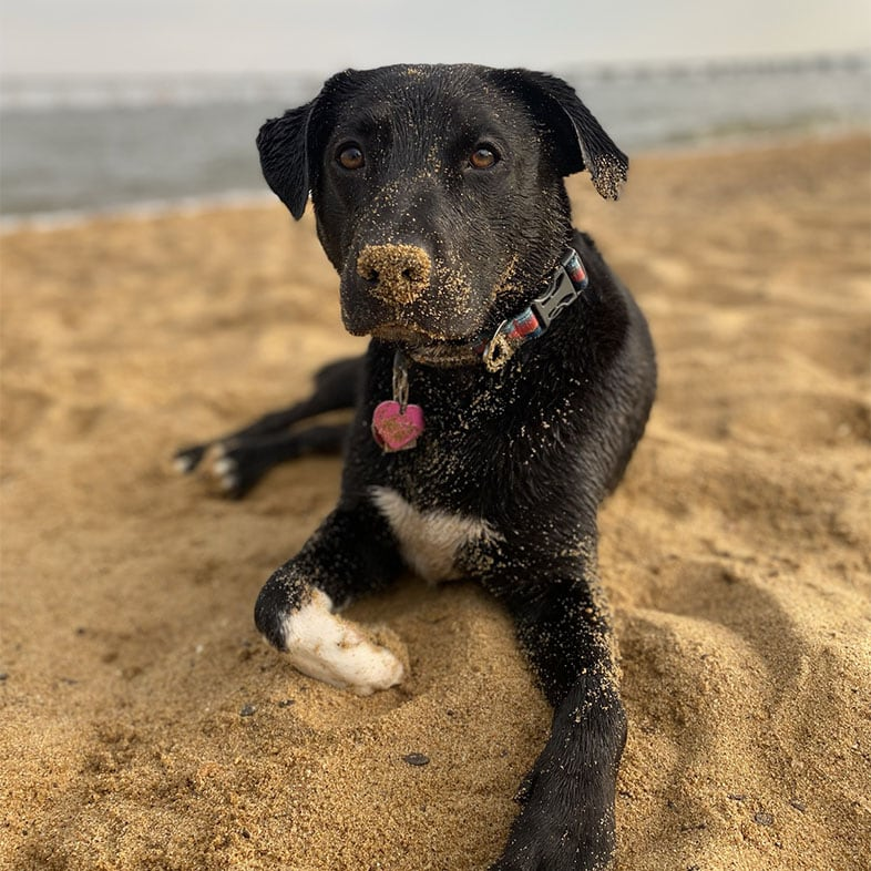 Dog Lying with Sand on Nose | Taste of the Wild