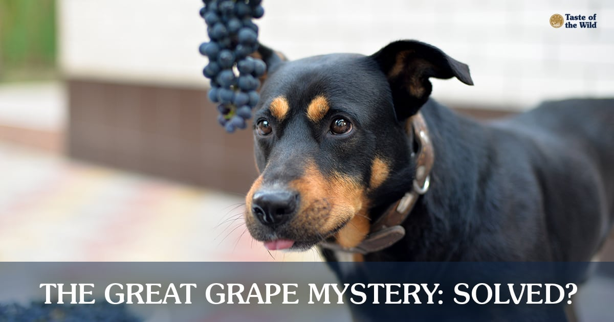 A Black and Brown Dog Staring at Hanging Grapes | Taste of the Wild